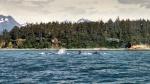 Whales bubble-net feeding in Alaska